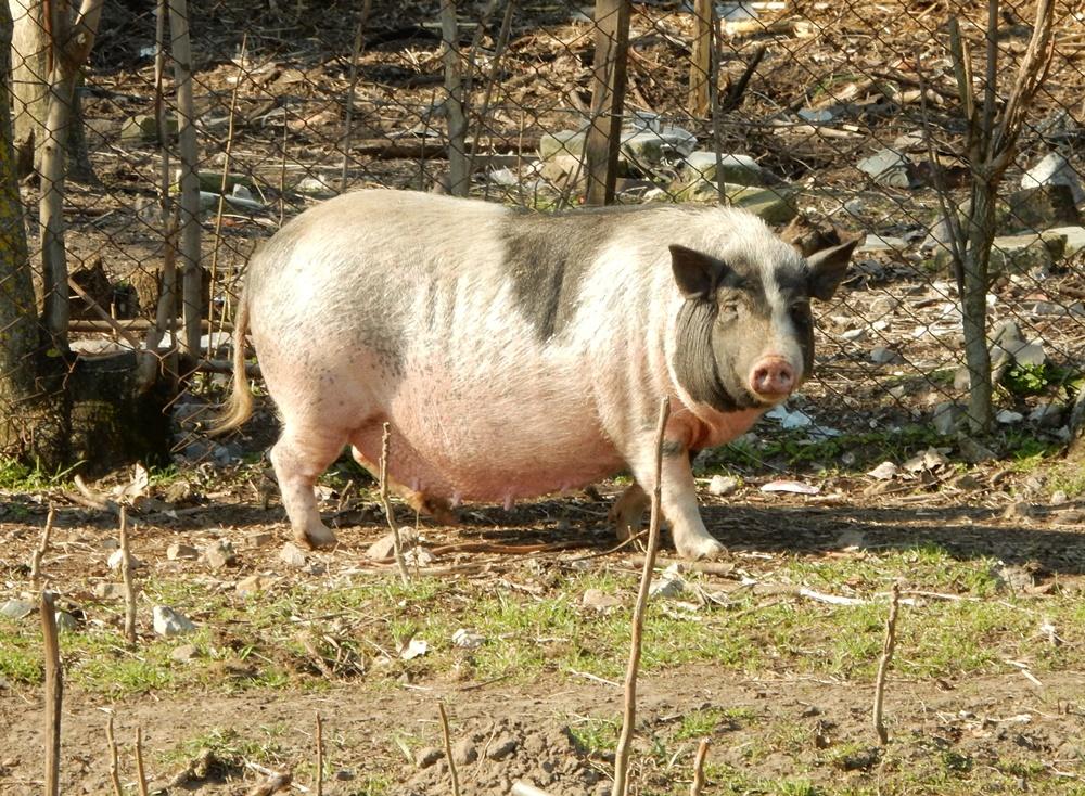 schwein-muss-man-haben