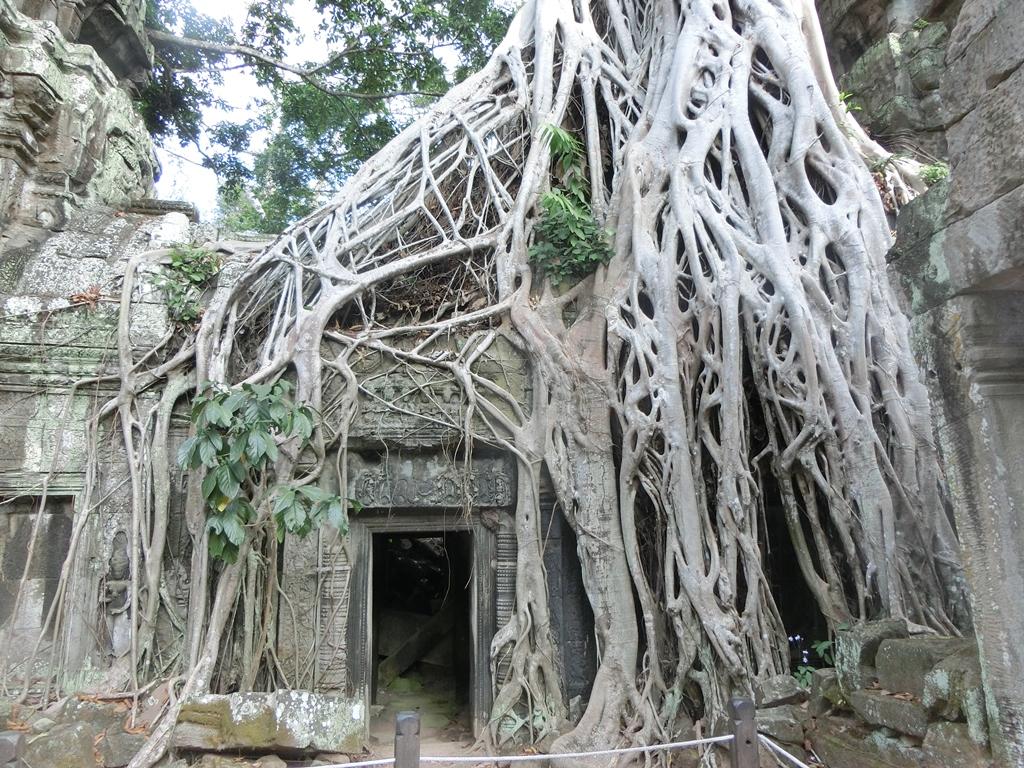 ankor-baeume-wachsen-in-den-ruinen-1