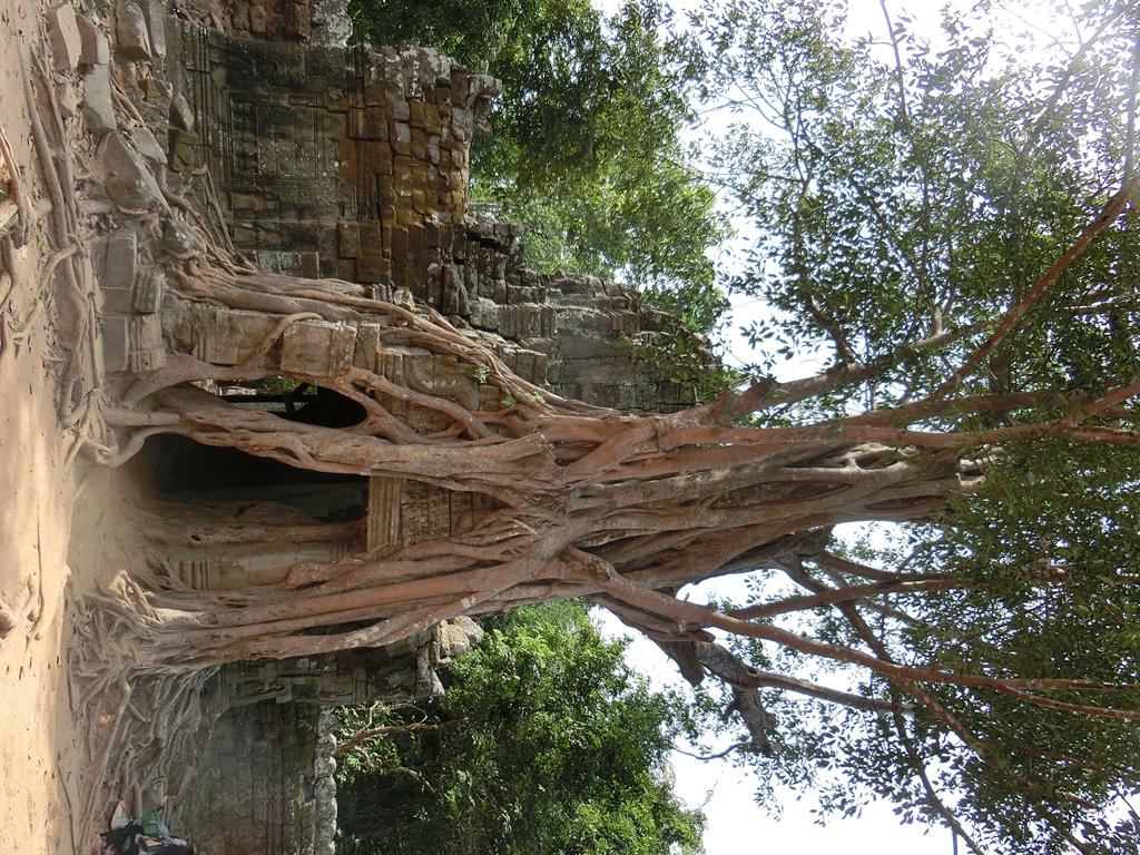 ankor-baeume-wachsen-in-den-ruinen-2