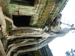 ankor-baeume-wachsen-in-den-ruinen-3