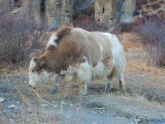 yaks-1