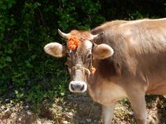 geschmueckte-kuh