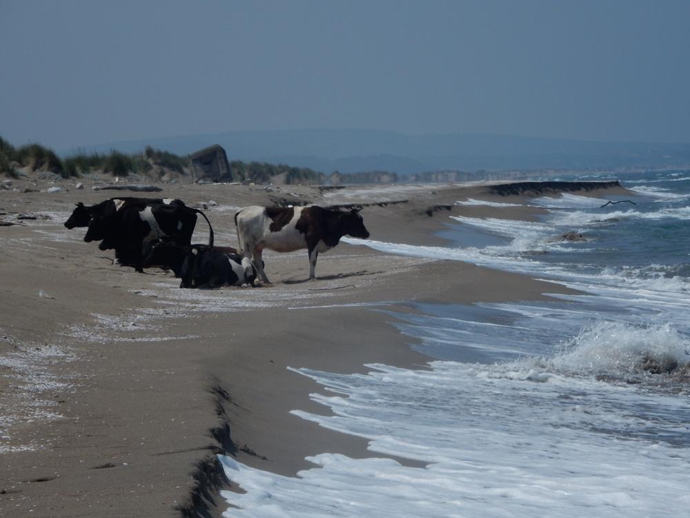 kuhherde-am-strand