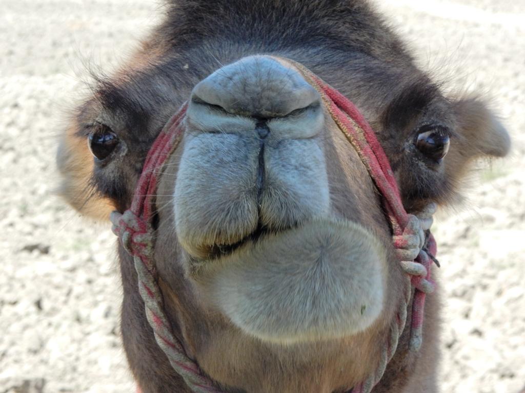 usbek-kamel-1