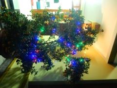 tet-mandarinenbaum